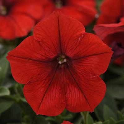 Wave Red Wave Petunia Jumbo 6 pack (reg. 19.99)